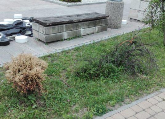 Dlaczego usychają drzewka pod Gminą